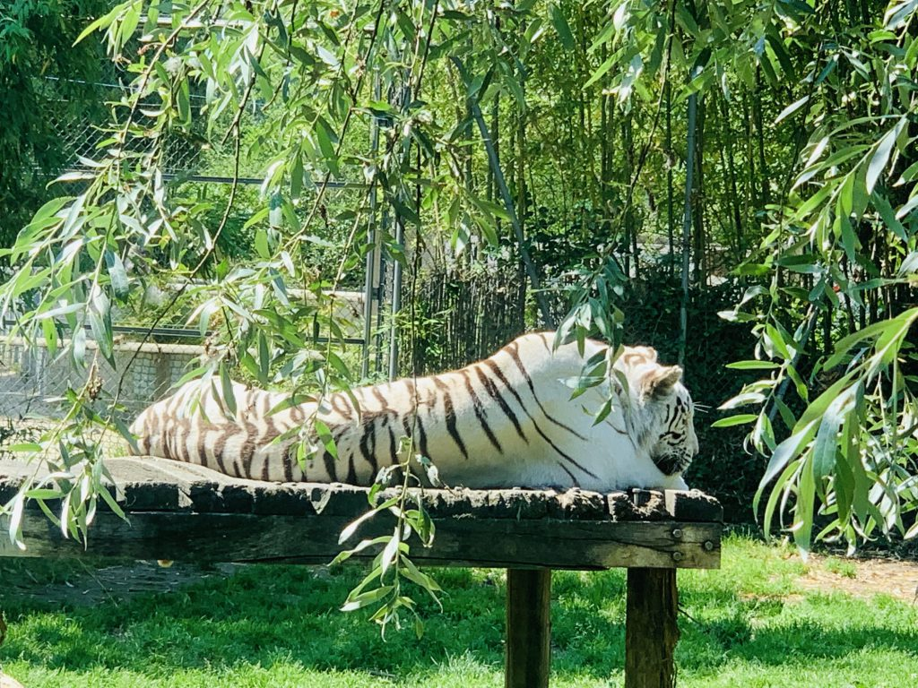 white tiger at Touroparc Zoo