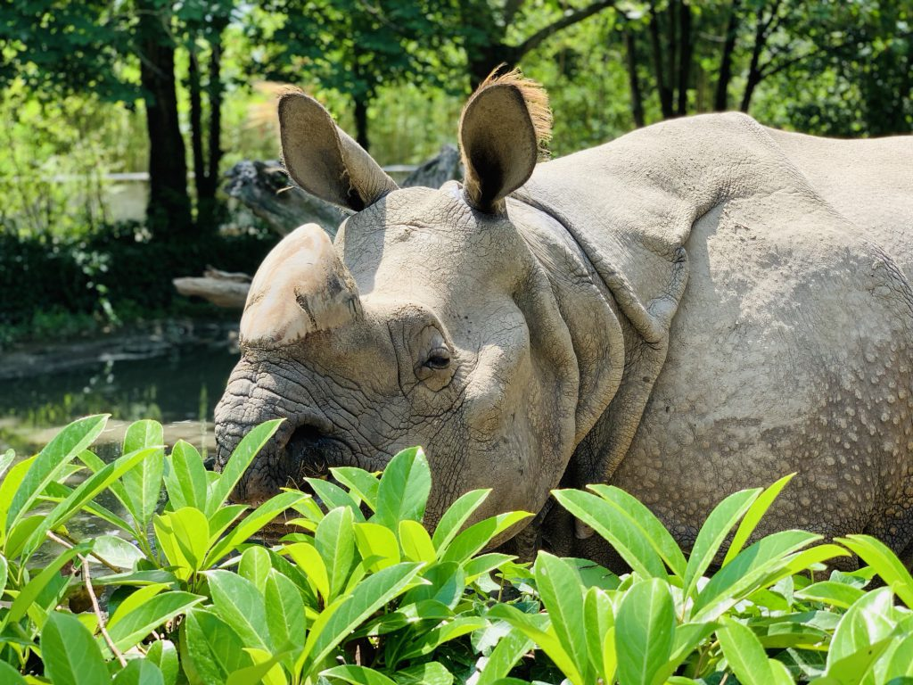 Rhino at Touroparc Zoo